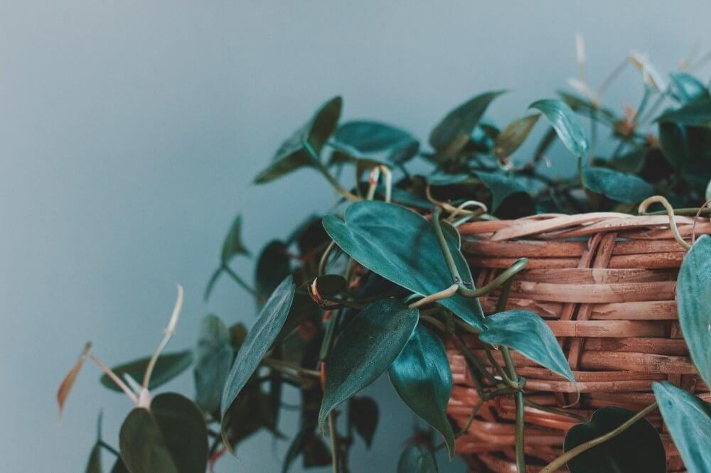 Grønne planter gir liv, farge og harmoni til interiøret