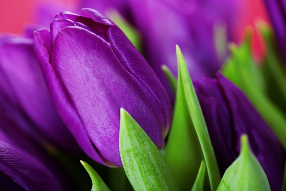 Tulipaner gir liv, farge og vårfølelse i hjemmet