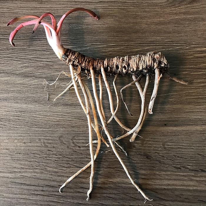 Yerba Mansa Whole Plant