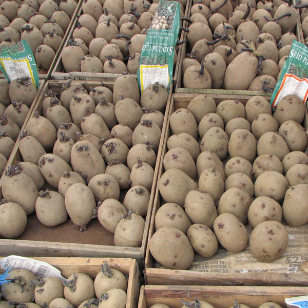 Chitting Potatoes . . . for faster growth & earlier crops
