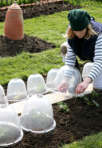 Avoiding Frost Damage With Bell Cloches
