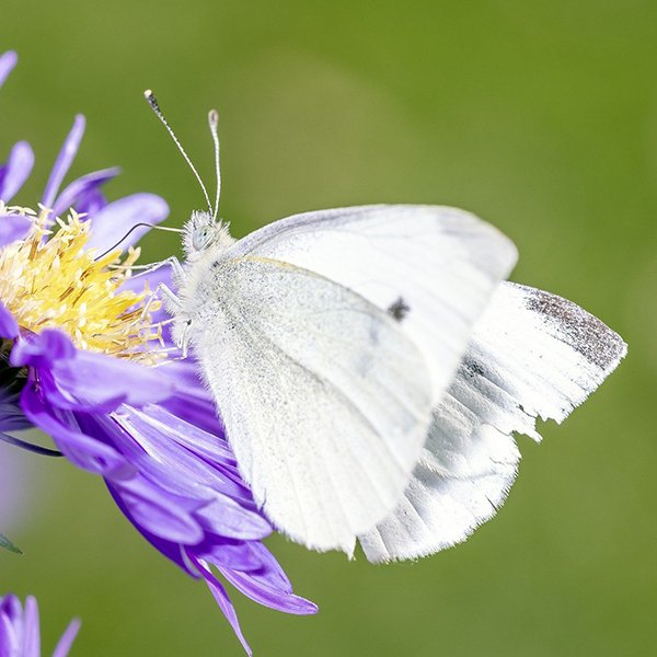 Cabbage White Butterflies . . . everything you need to know