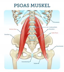bonmedico-Psoas-Muskel-Anatomische-Darstellung