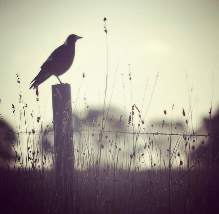 magpie at dusk photo
