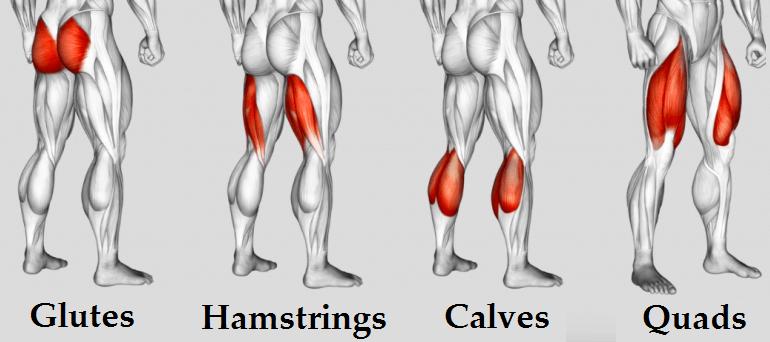 legs muscles