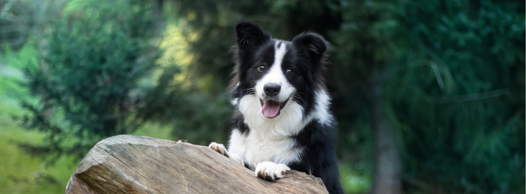 Border Collie Health Issues: How to Care for Your Furry Friend