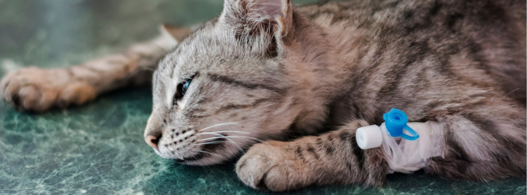 How anesthesia is used in feline surgery