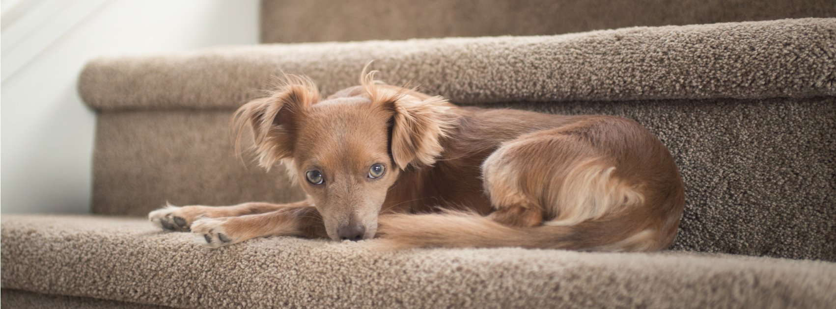 What Is Pet Joint Pain?