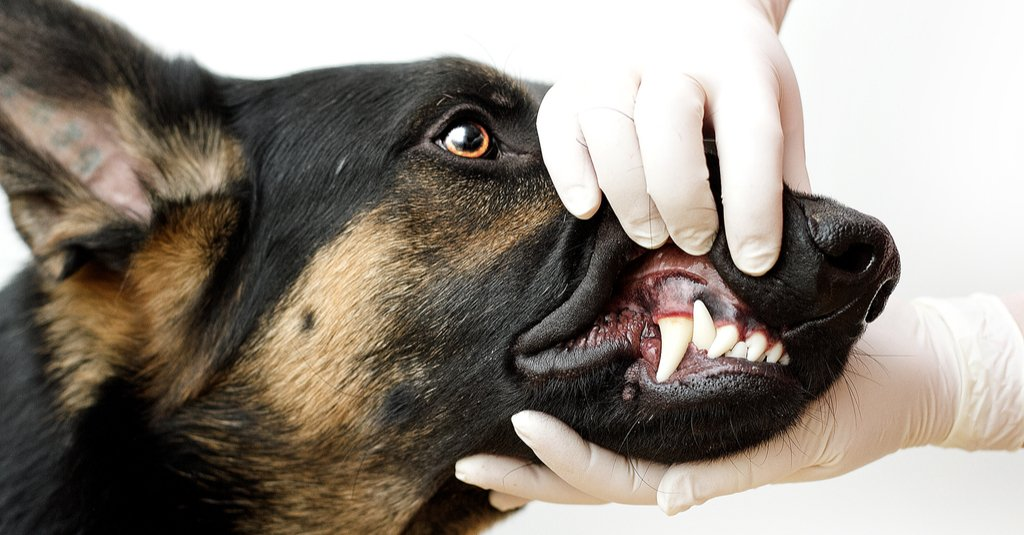 How can you prevent your dog from developing periodontal disease?