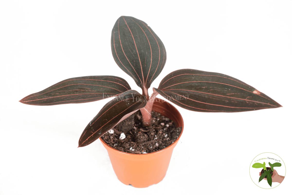 Black Jewel Orchid