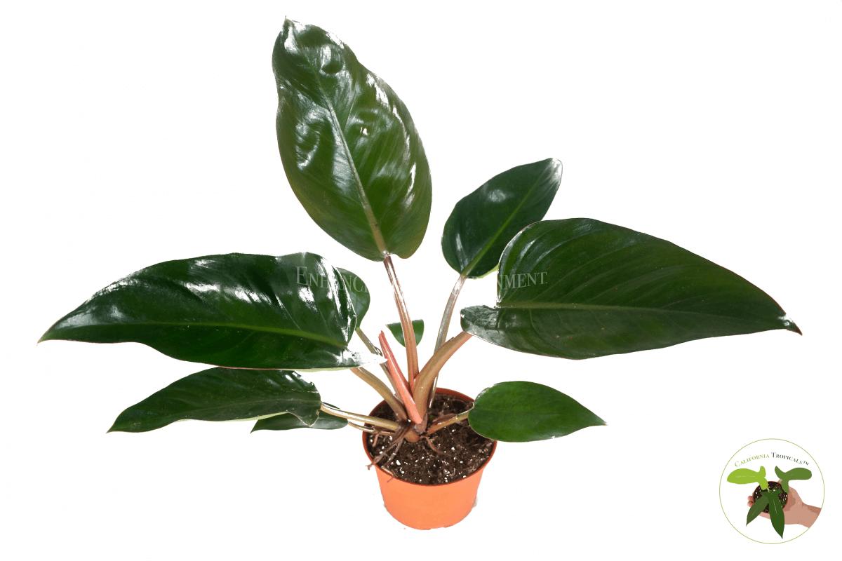 Congo Rojo Philodendron