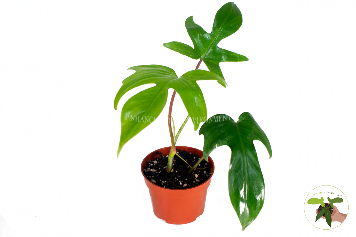 Philodendron Florida Beauty Red Stem