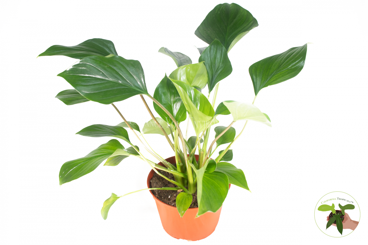 Philodendron Emerald Gem