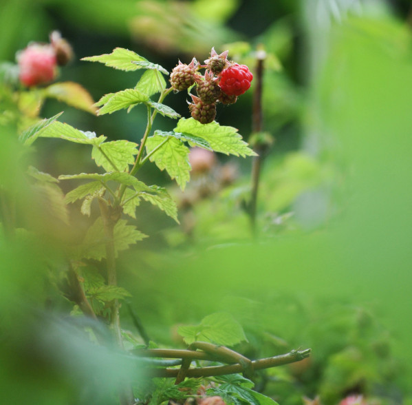 Herbs for Hormonal Balance: Raspberry leaf benefits