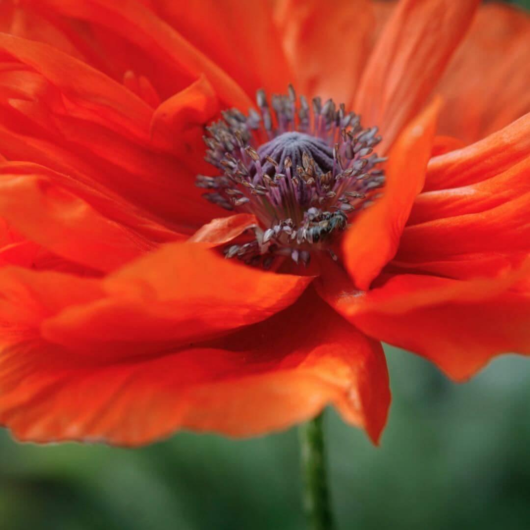 August Birthday Flowers - Gladiolus and Poppy