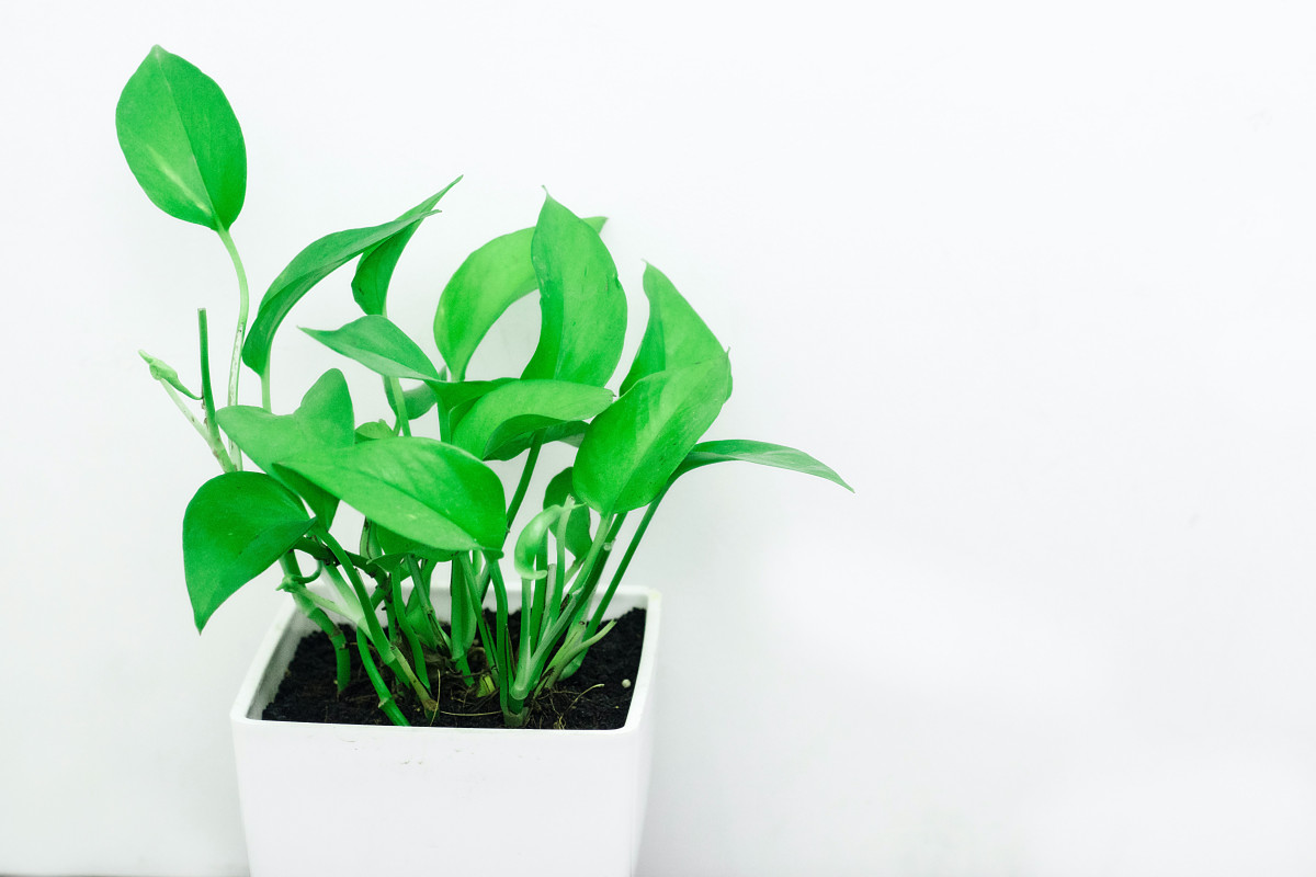 Propagating example of the pothos plant, featured up close with distinguished green leaves.
