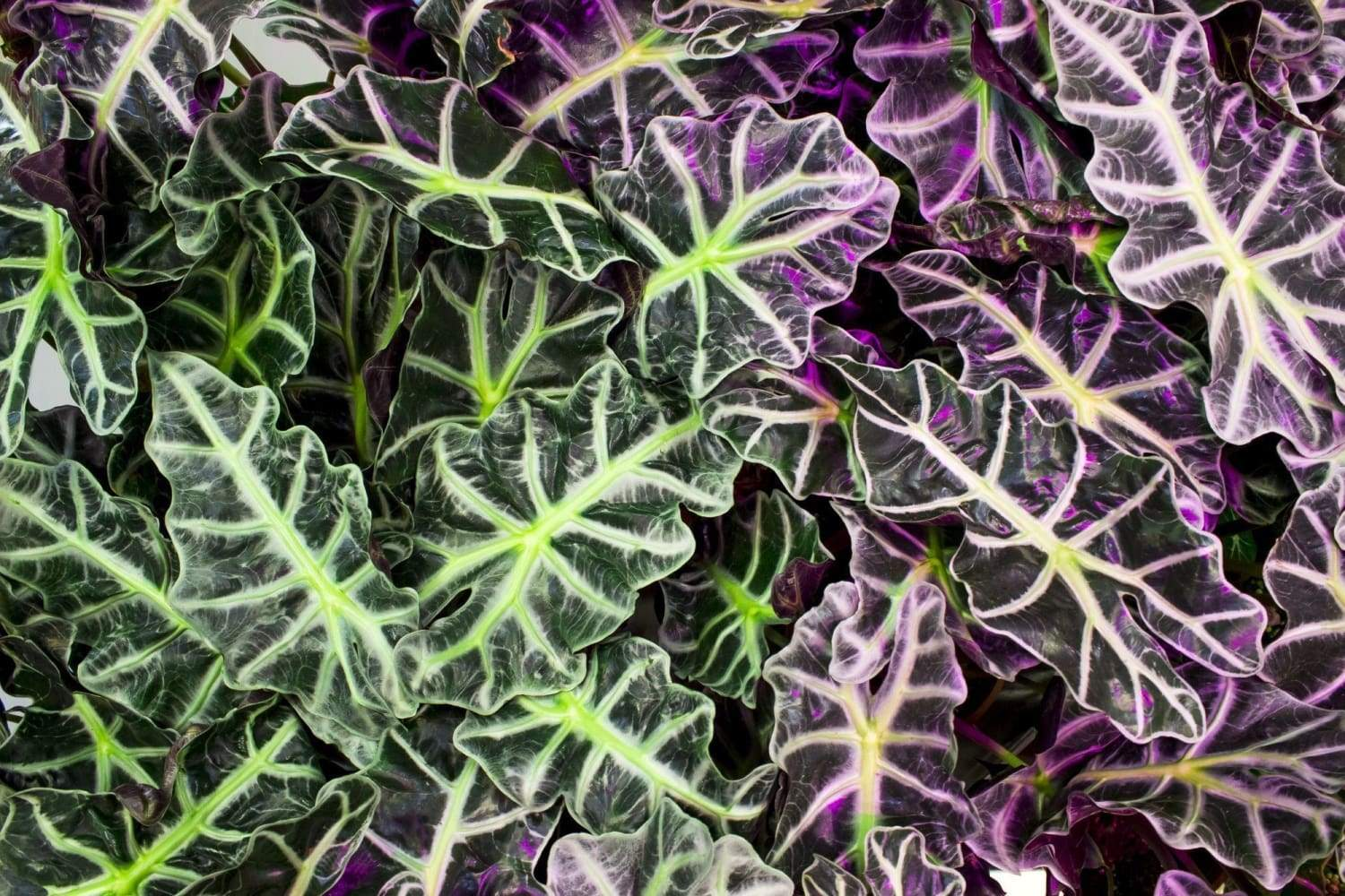 Your Complete Alocasia Care Guide