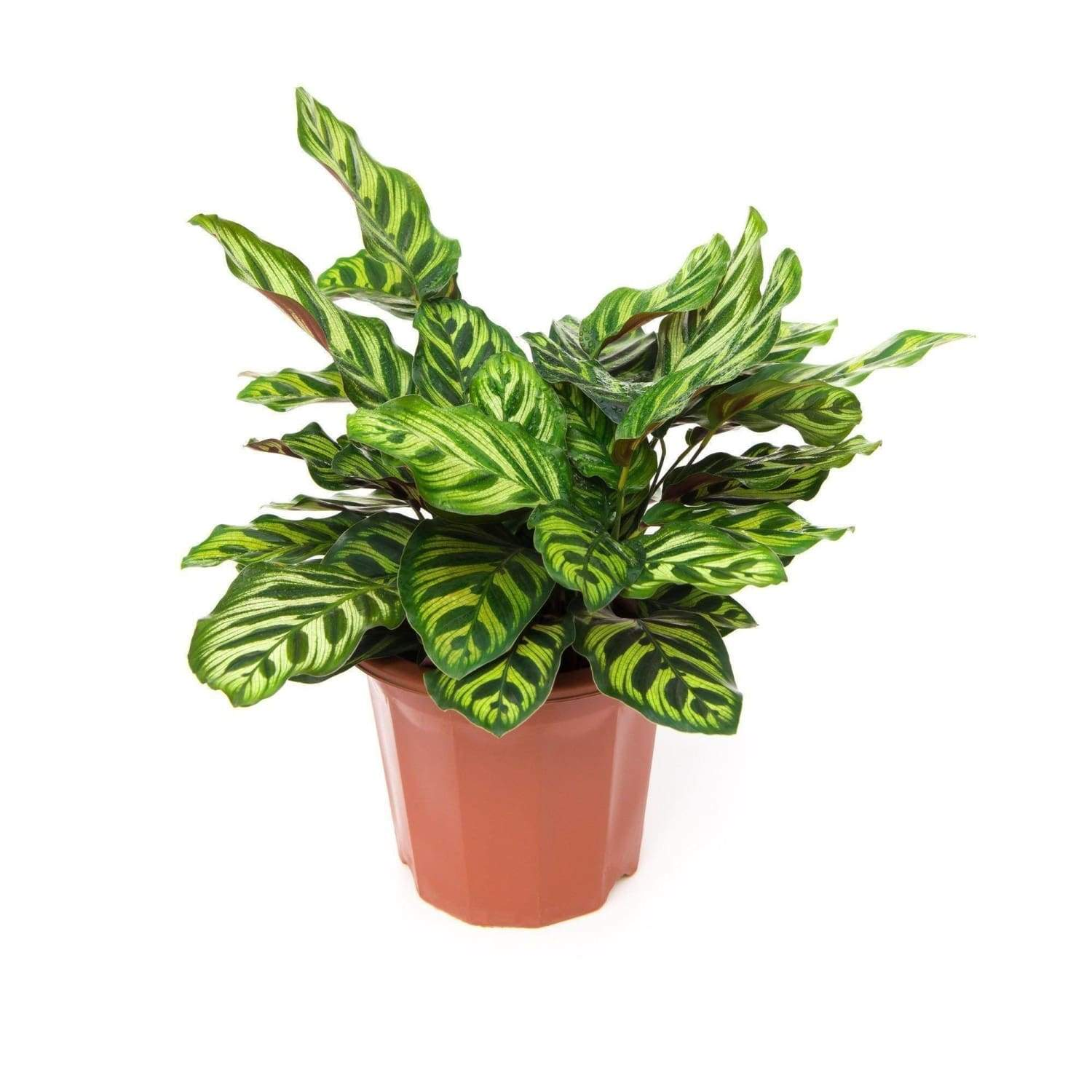 Why Calathea Makes the Most Beautiful Decorative Houseplant