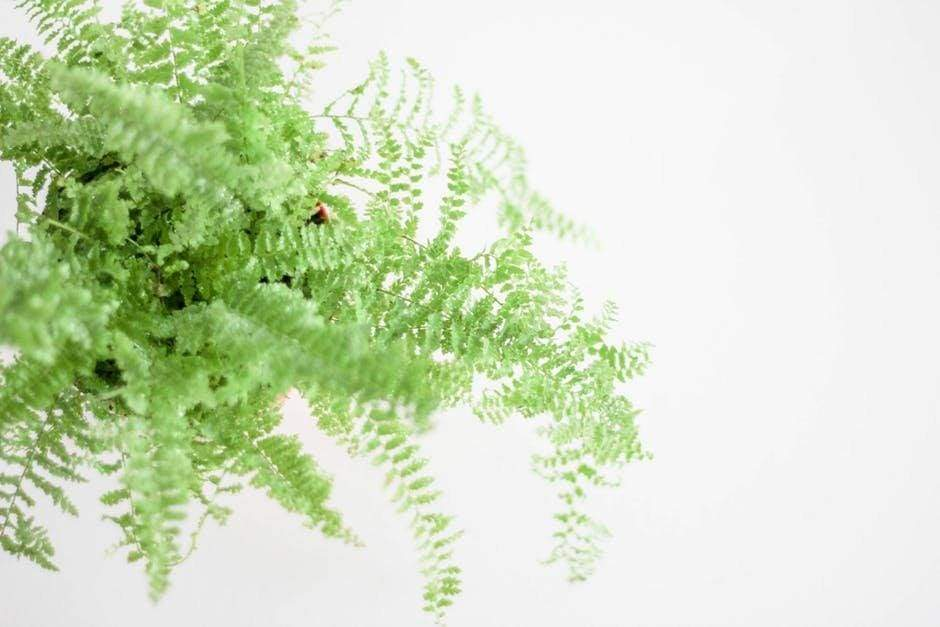 7 of the Most Popular and Easiest Indoor Ferns