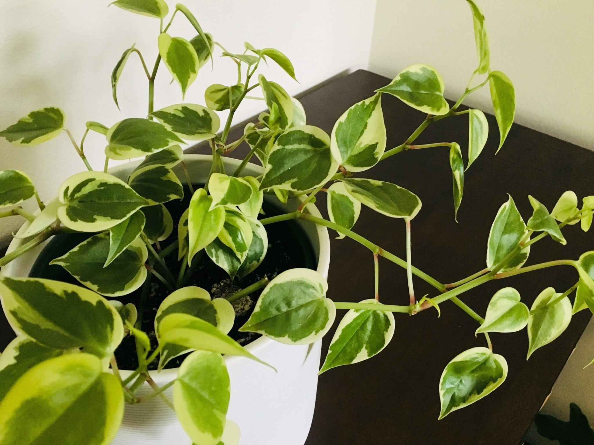 Cupid Peperomia (variegated)
