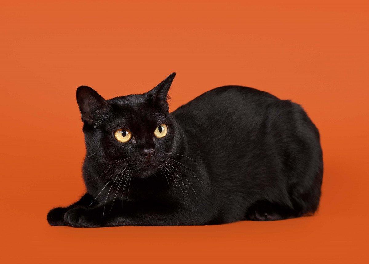 chat noir Bombay