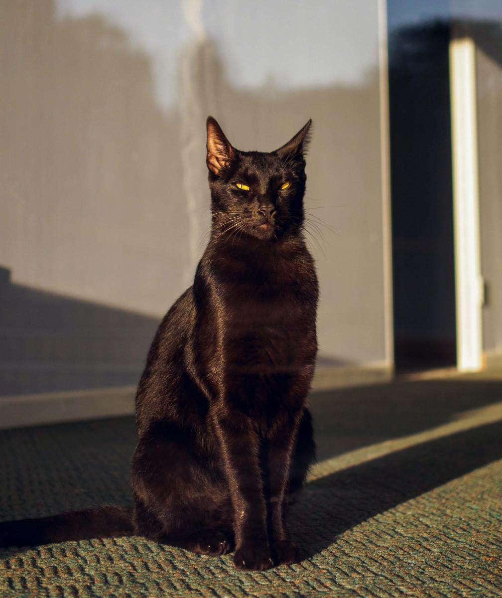 choses à savoir sur les chats noirs