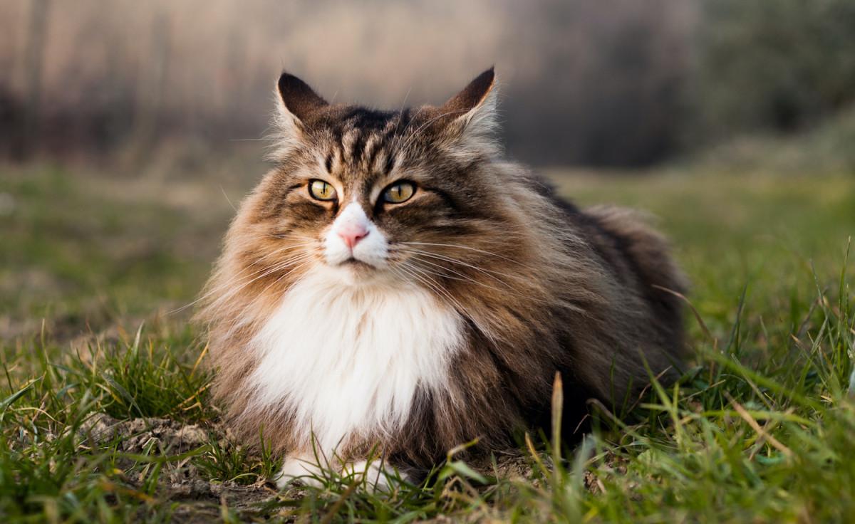 Le chat norvégien, un prince des forêts scandinaves