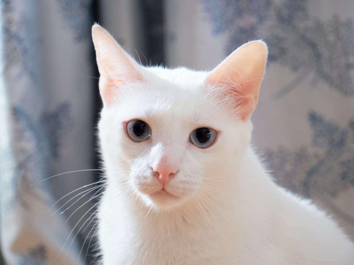 Top 10 des choses à savoir sur les chats blancs