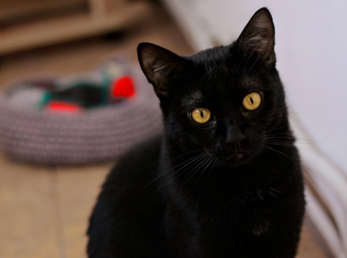 Top 10 des choses à savoir sur les chats noirs