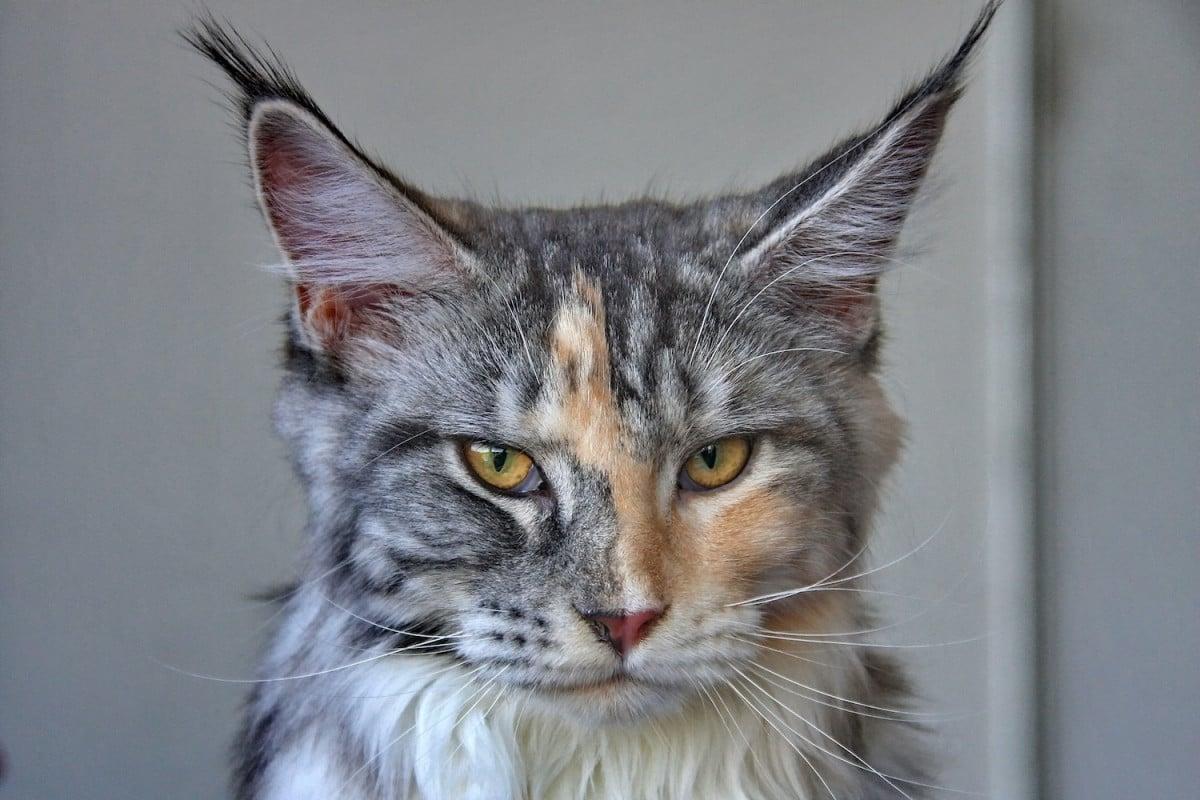 Le Maine Coon, un chat hors normes