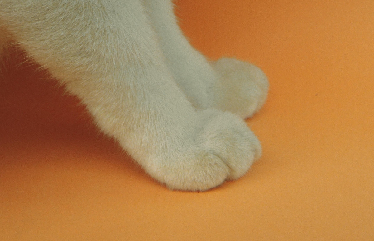 Top 10 des choses à savoir sur les pattes de votre chat