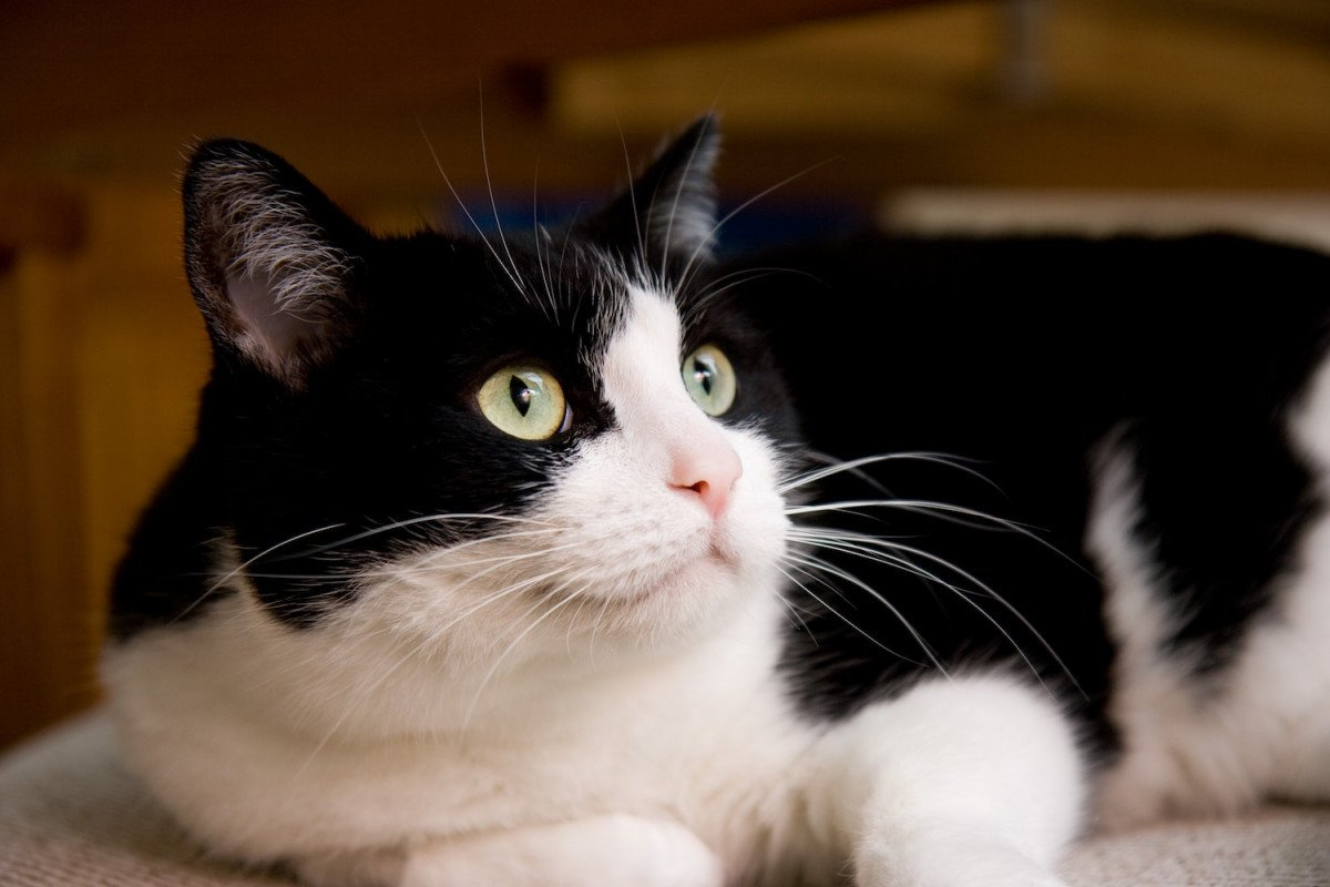 À quel âge faire stériliser mon chat ?