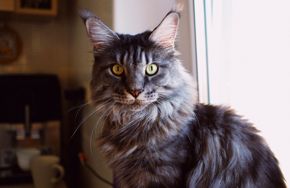 Top 5 des races de grands chats