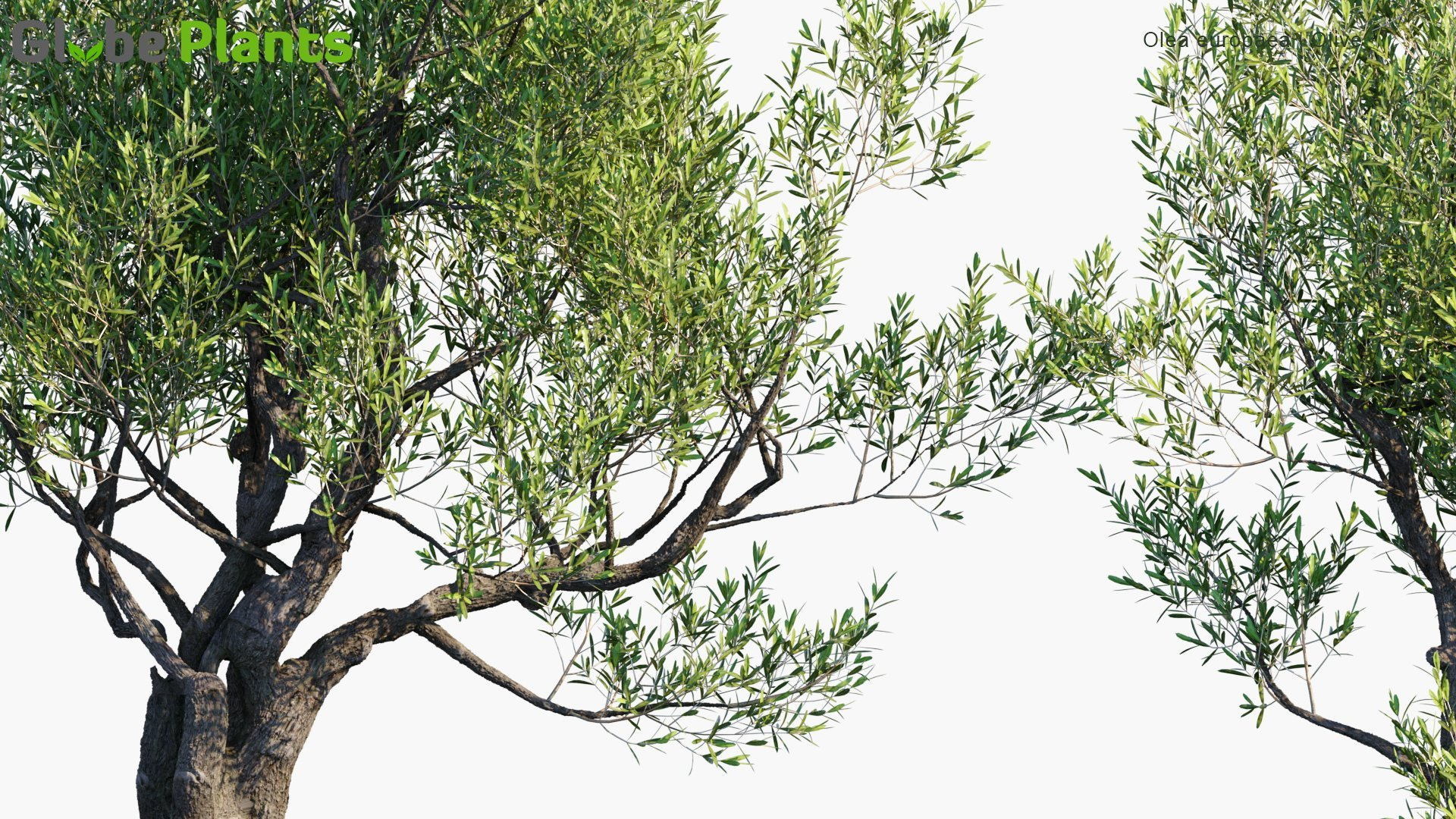 3D Plant Model of The Month - Olea Europaea