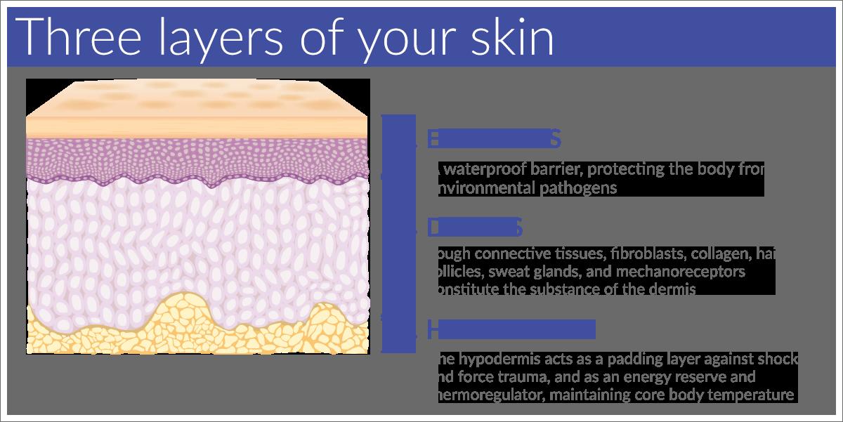 Die drei Schichten der Haut