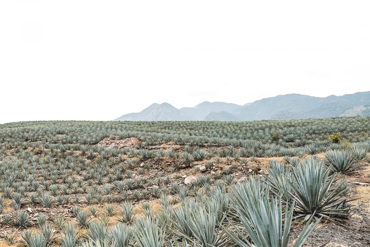 Tequila fields in Jalisco, Mexico.