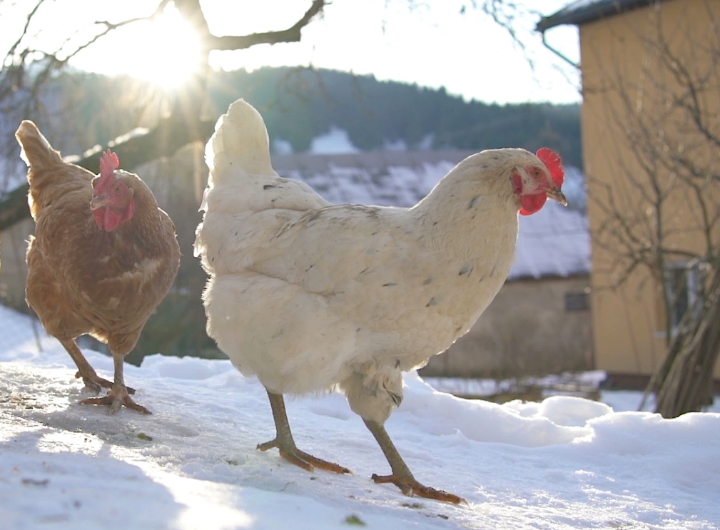 Protecting Your Chickens From Frostbite