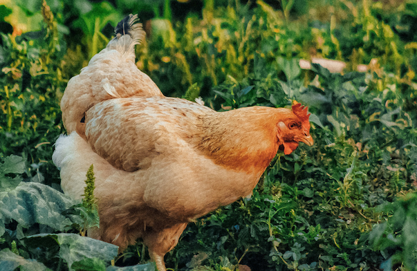 Friendly and Docile Chicken Breeds