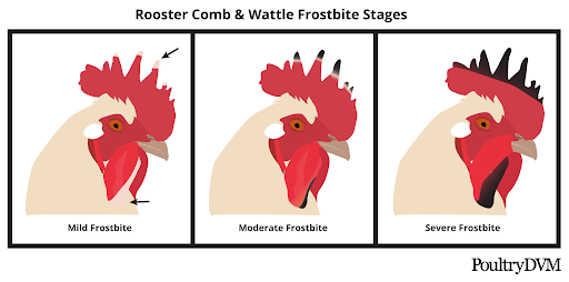 chicken frostbite