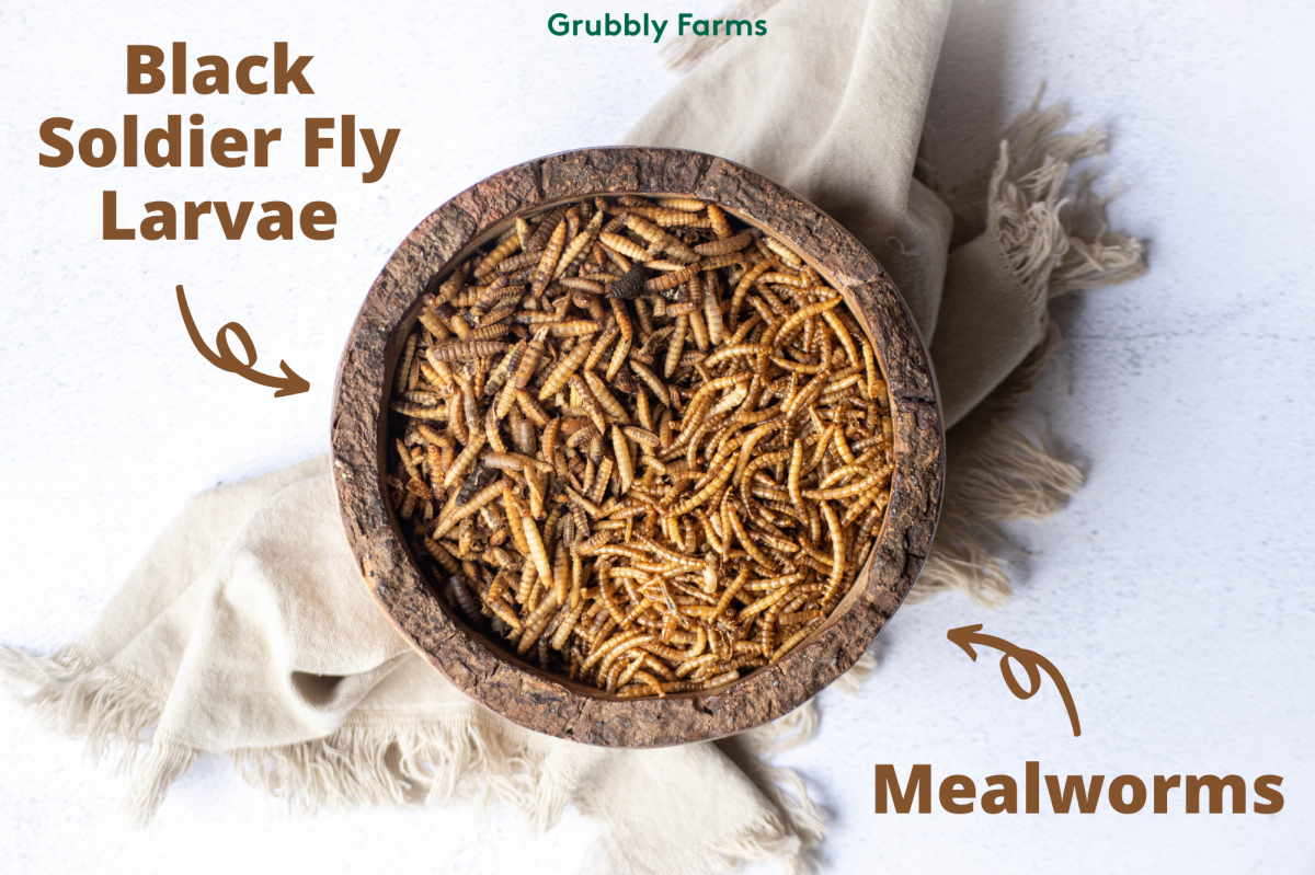 bowl with black solider fly larvae and mealworms