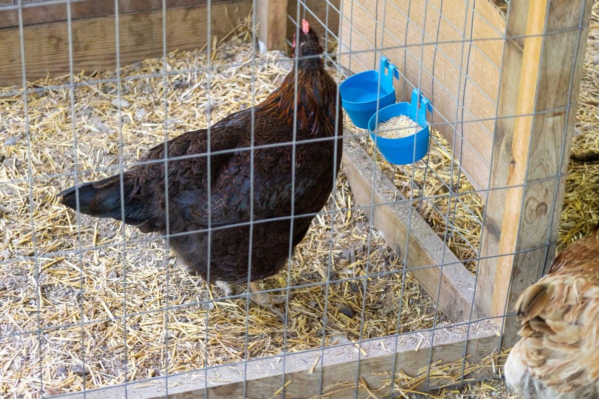 Hen in the process of breaking broody
