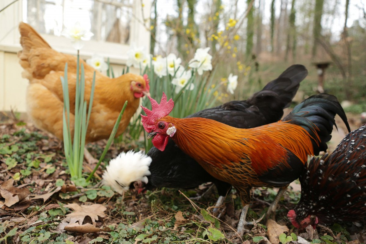 rooster and hens foraging in yard