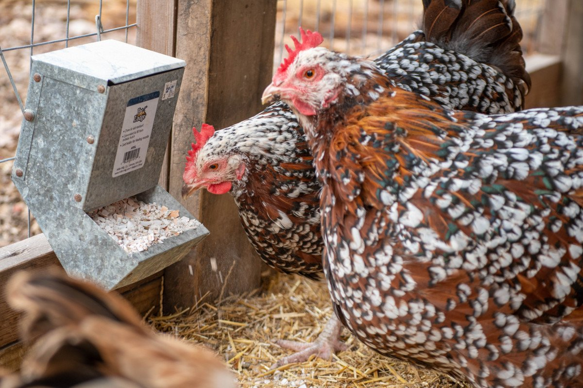 two chickens in a coop pecking at eggshells for supplemental calcium