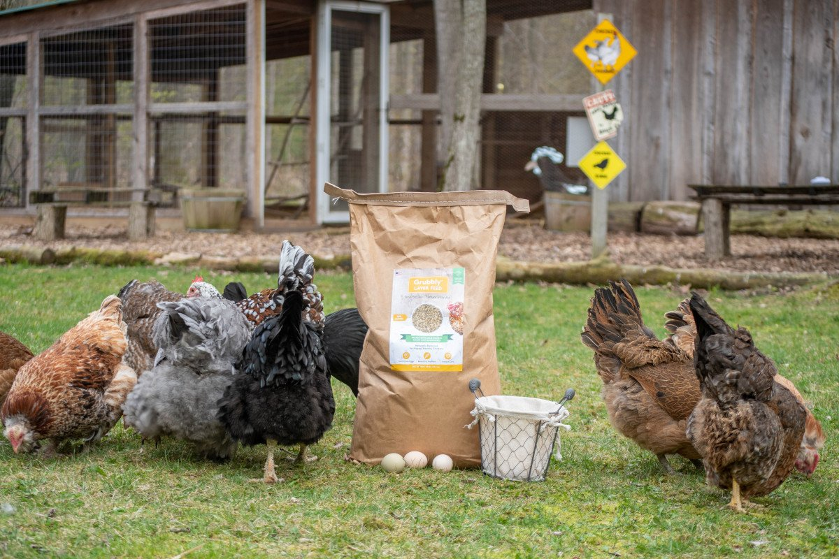chickens foraging outdoors next to a bag of layer feed