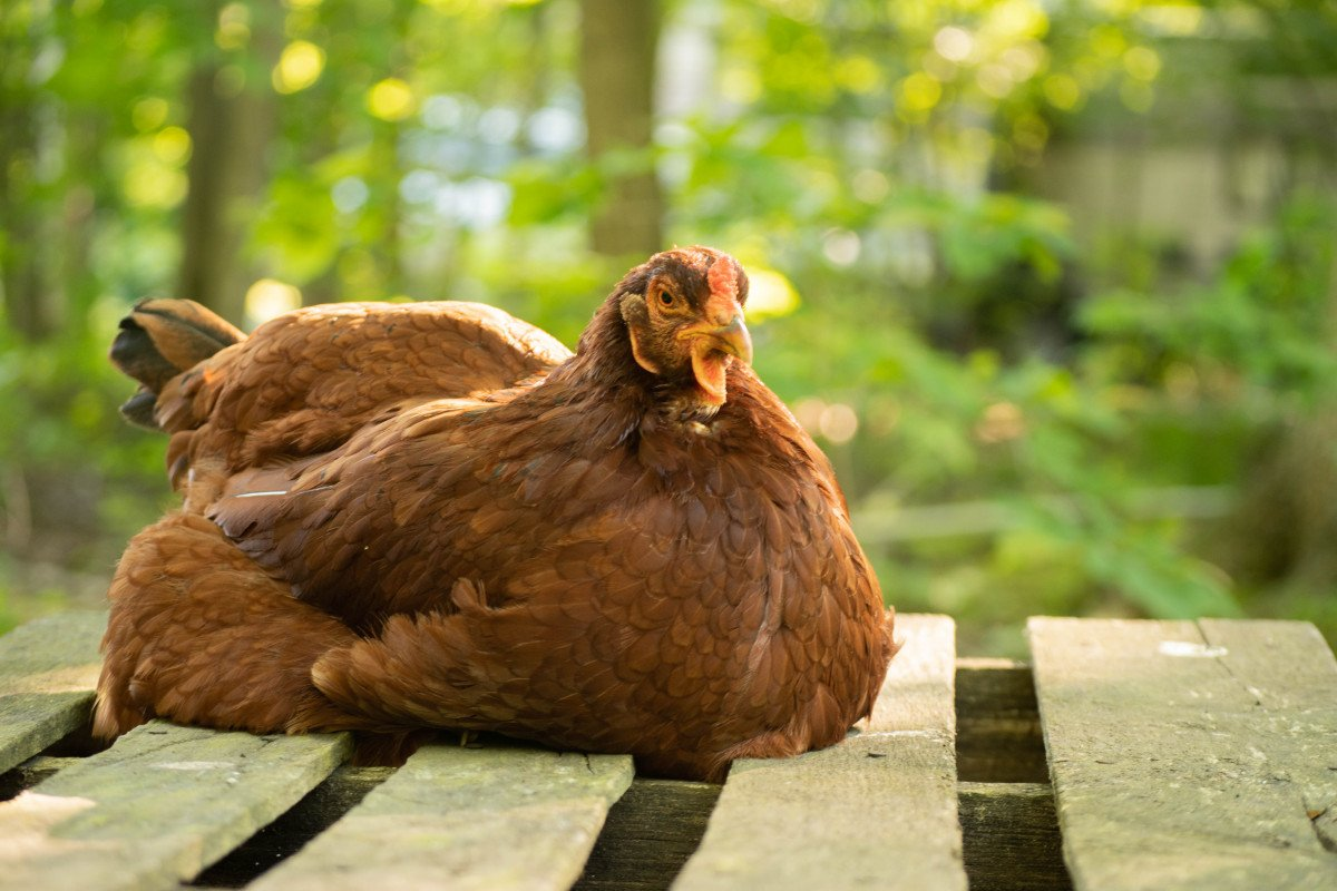 lethargic chicken sitting on a table