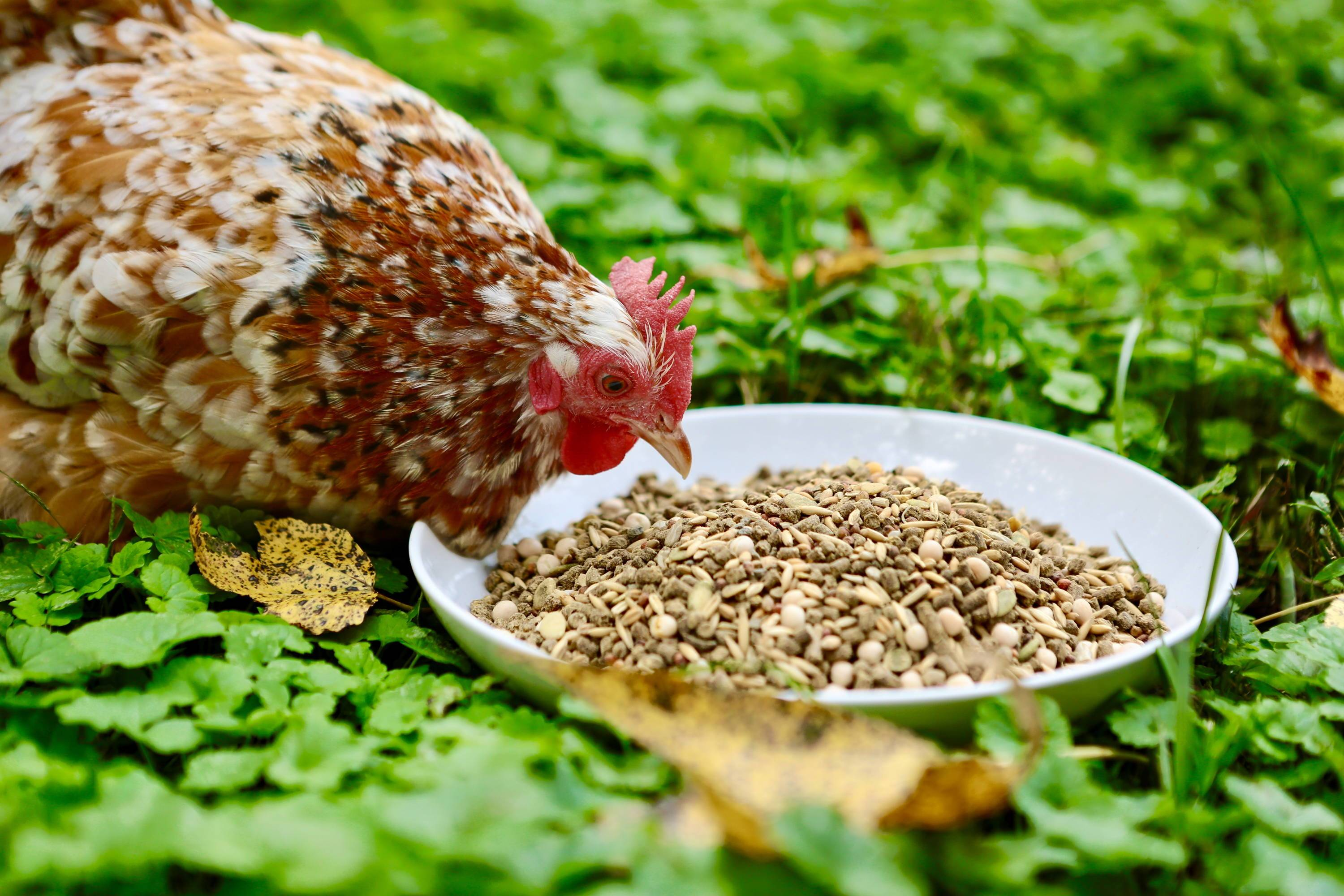 Feeding Guide: How to Introduce New Food to Your Chickens
