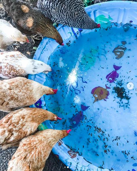 Managing Summer Heat for Chickens