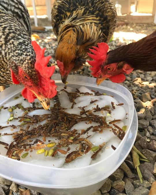 Emergency  Measures for a Chicken Suffering from Heat Stroke
