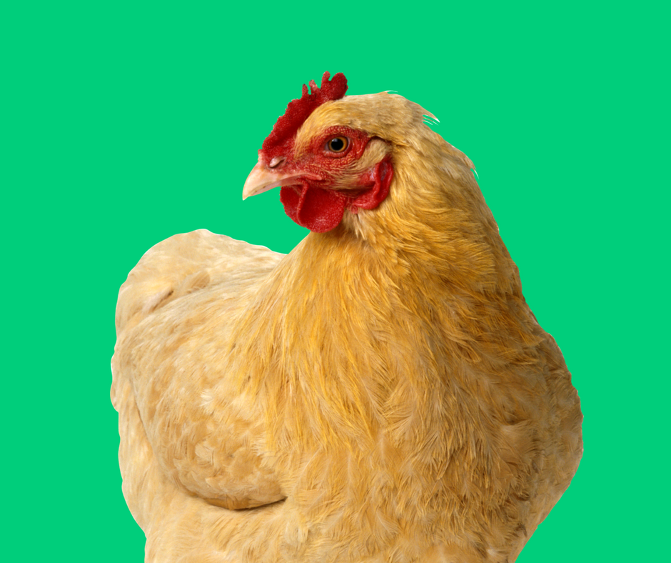 5 Signs of a Healthy Chicken