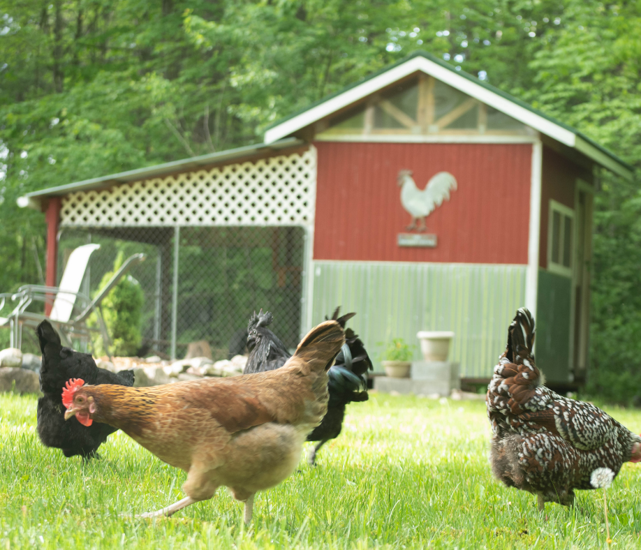 Five Tips for Free-Ranging Chickens
